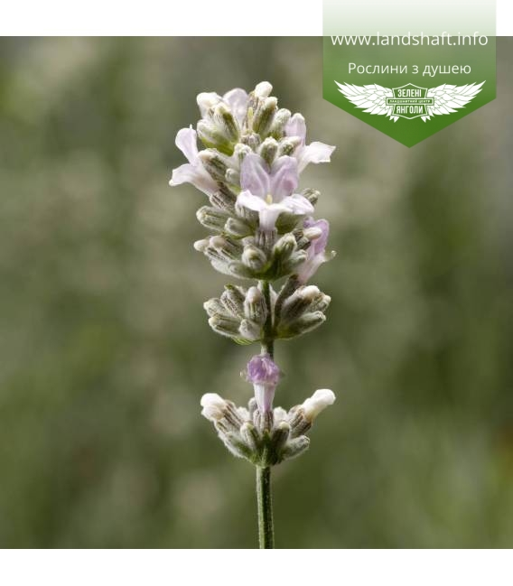 Lavandula angustifolia 'Sentivia Silver', Лаванда вузьколиста 'Сентівіа Сілвер'