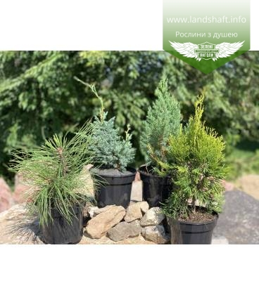 Купить недорого Набор растений 'Декоративная хвоя'