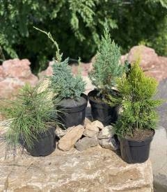 Набір рослин 'Декоративна хвоя'