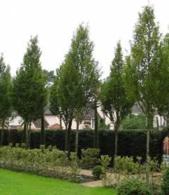 Carpinus betulus 'Frans Fontaine', Граб звичайний 'Франс Фонтейн'