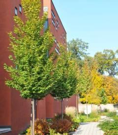 Carpinus betulus 'Frans Fontaine', Граб обыкновенный 'Франс Фонтейн'