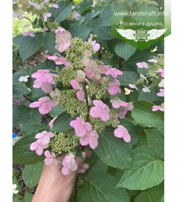 Hydrangea paniculata 'Early Harry', Гортензия метельчатая 'Ерли Харри' цветения растения летом.