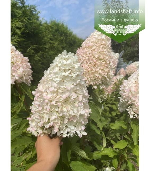 Hydrangea paniculata 'Magical Sweet Summer', Гортензия метельчатая 'Меджикал Свит Саммер' цветения растения летом.