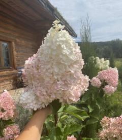 Hydrangea paniculata 'Vanille Fraise', Гортензія волотиста 'Ванілле Фрайз' квітка рослини.