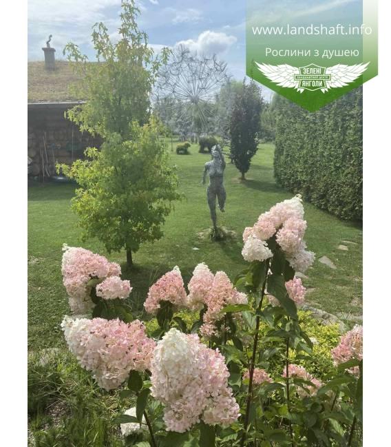 Hydrangea paniculata 'Vanille Fraise', Гортензія волотиста 'Ванілле Фрайз, в ланшафтному дизайні.