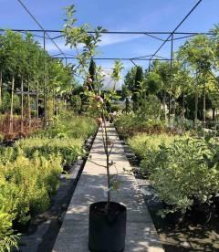 Яблуня 'Флоріна' в горщику С33,5 висотою 160-180см