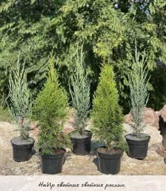 Набір хвойних рослин 'Садові вертикалі'