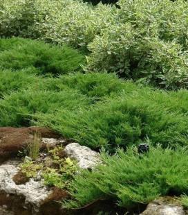Juniperus horizontalis 'Andorra Compacta', Можжевельник горизонтальный 'Андорра Компакта'