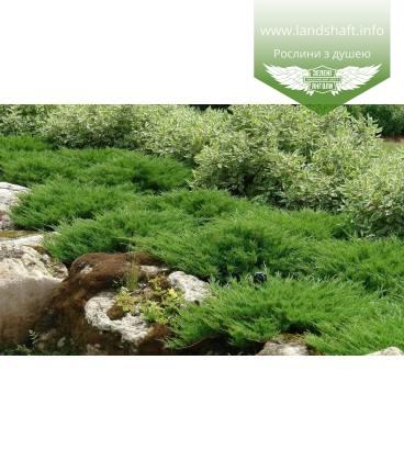 Juniperus horizontalis 'Andorra Compacta', Ялівець повзучий 'Андорра Компакта'