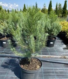 Pinus pinea, Сосна італійська в горщику 5л
