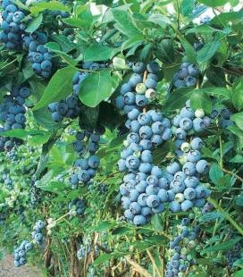 "Vaccinium corymbosum ""Blue Gold"", Голубика высокорослая ""Блу Голд"""