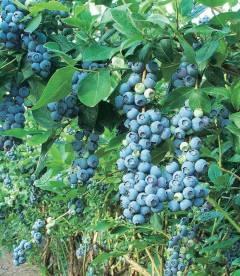Vaccinium corymbosum 'Blue Gold', Лохина високоросла 'Блу Голд'