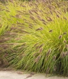 Pennisetum alopecuroides 'Hameln Gold', Пеннисетум лисохвостный 'Хамелн Голд'