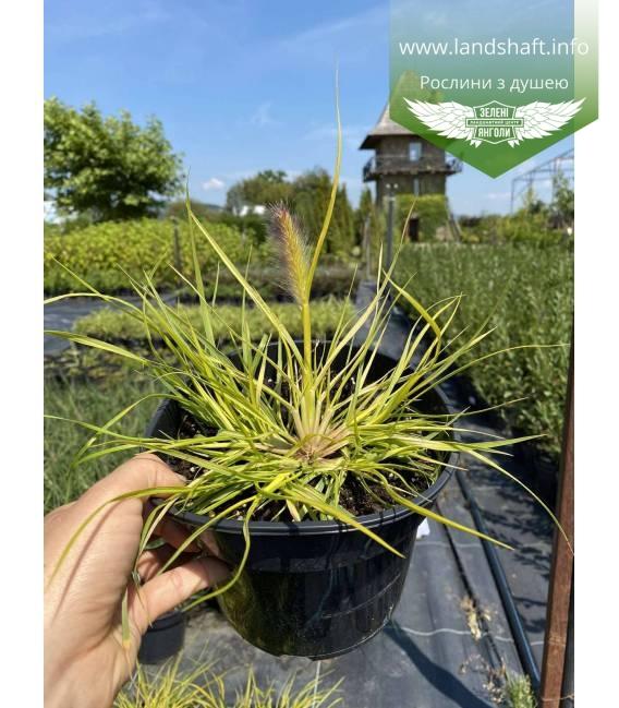 Pennisetum alopecuroides 'Hameln Gold', Пеннісетум лисохвостий 'Хамелн Голд'