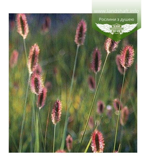 Pennisetum messiacum 'Red Buttons', Пеннисетум масайский 'Ред Баттонс'