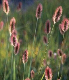 Pennisetum messiacum 'Red Buttons', Пеннісетум масайський 'Ред Баттонс'