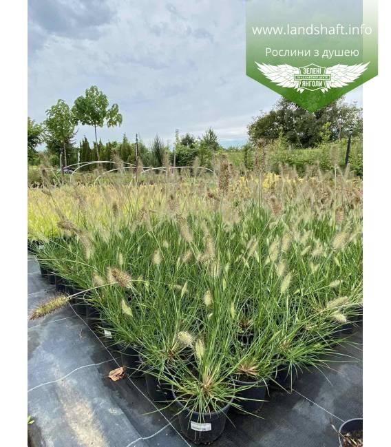 Pennisetum alopecuroides 'Hameln', Пеннісетум лисохвостий 'Хамелн'