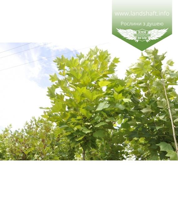 Platanus x acerifolia, Платан кленолистий