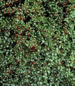Cotoneaster x suecicus 'Skogholm', Кизильник гибридный 'Скогхолм'