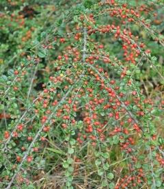 Cotoneaster perpusillus Кизильник крохотный
