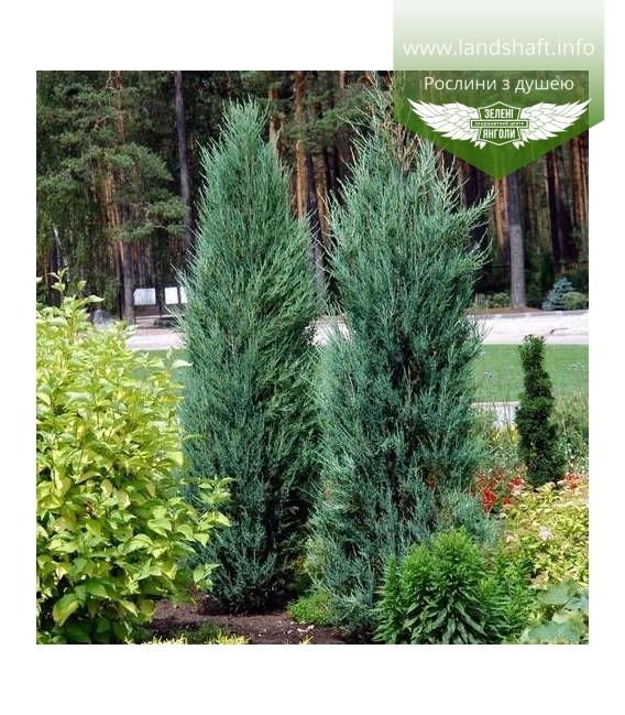 Juniperus scopulorum 'Blue Arrow', Ялівець скельний 'Блу Ароу'