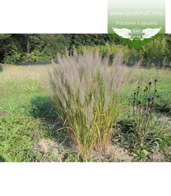 Calamagrostis brachytricha, Війник брильянтовий