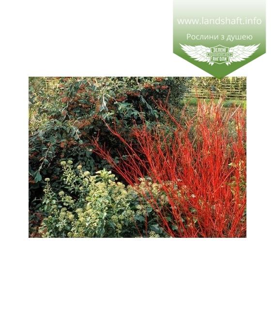 Cornus alba 'Regnzam/Red Gnome', Дерен белый 'Регнзам/Ред Гноум'