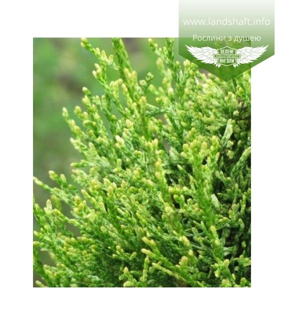 Thuja occidentalis 'Smaragd Witbont', Туя західна 'Смарагд Вітбонт'