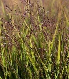Panicum virgatum 'Warrior', Просо прутьевидное 'Ворриор'