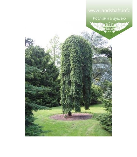 Picea abies 'Inversa', Ялина звичайна 'Інверза'