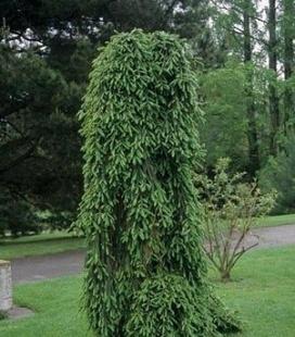 Picea abies 'Inversa', Ель обыкновенная 'Инверса'