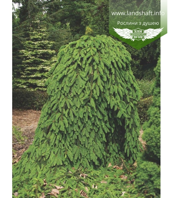 Picea abies 'Inversa' Ель европейская
