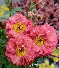 Geum 'Bohema Pink', Гравилат 'Богема Пинк'