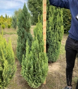 Chamaecyparis lawsoniana 'Ellwood's Empire' Кипарисовик Лавсона 'Эллвудз Эмпайр'