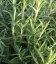 Rosmarinus officinalis 'Speedy', Розмарин обыкновенный 'Спиди'