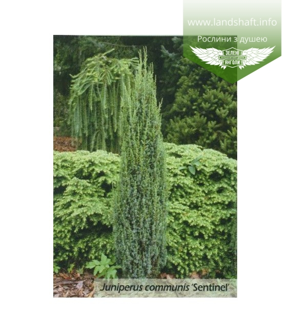 Juniperus communis 'Sentinel', Ялівець звичайний 'Сентінел'