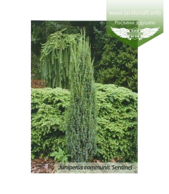 Juniperus communis 'Sentinel' Можжевельник обыкновенный