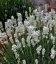 Lavandula angustifolia 'Sentivia Silver', Лаванда узколистная 'Сентивиа Сильвер'