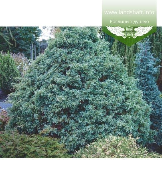 Chamaecyparis pisifera 'Squarrosa' (формированный) Кипарисовик горохоплодный