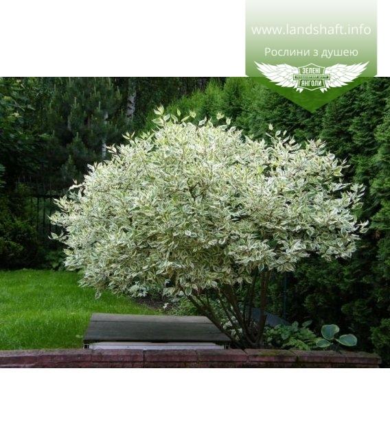 Cornus alba 'Elegantissima', Дерен білий 'Елегантіссіма'