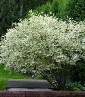 Cornus alba 'Elegantissima', Дерен белый 'Элегантиссима'