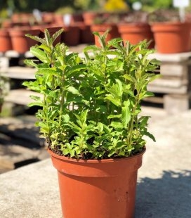 Mentha spicata 'Yakima', М'ята колосиста 'Якіма'
