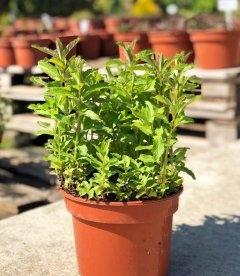 Mentha spicata 'Yakima', Мята колосистая 'Якима'