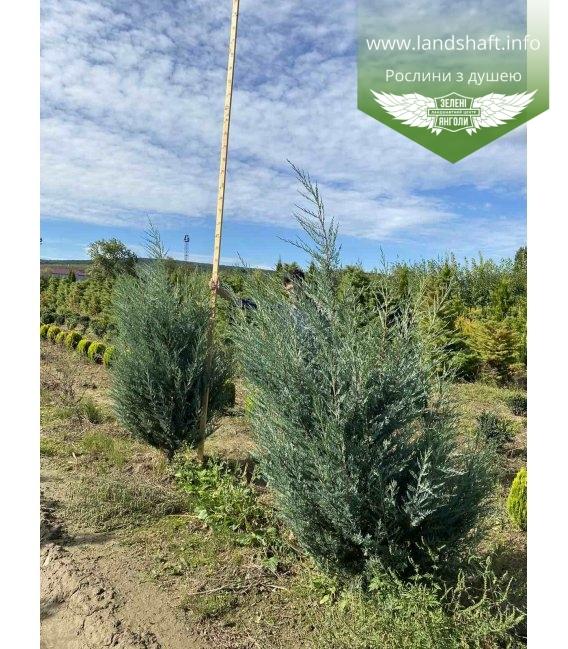 Juniperus scopulorum 'Moonlight', Ялівець скельний 'Мунлайт' з кореневим комом WRB 180-200см