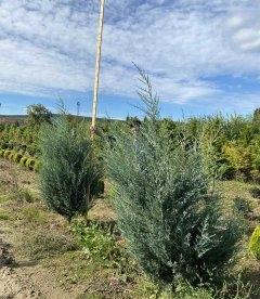 Juniperus scopulorum 'Moonlight' Можжевельник скальный 'Мунлайт' с корневым комом WRB 180-200см.