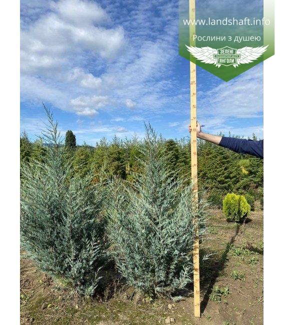 Juniperus scopulorum 'Moonlight', Ялівець скельний 'Мунлайт' з кореневим комом WRB 140-160см