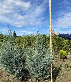 Juniperus scopulorum 'Moonlight' Можжевельник скальный 'Мунлайт' с корневым комом WRB 140-160см.