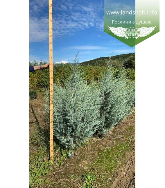 Juniperus scopulorum 'Moonlight', Ялівець скельний 'Мунлайт' з кореневим комом WRB 160-180см