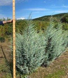 Juniperus scopulorum 'Moonlight' Можжевельник скальный 'Мунлайт' с корневым комом WRB 160-180см.