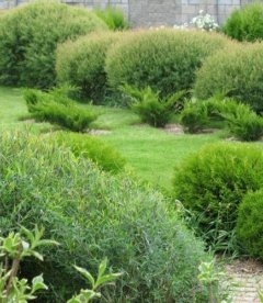 Верба пурпурова Нана в саду. Ландшафт